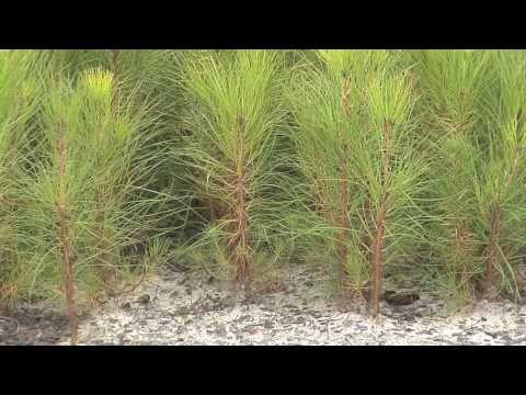 Southeast Georgia Farm Grows Seedlings For Forest Replanting