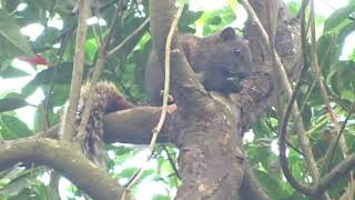 台湾リス Taiwanese squirrel thumbnail
