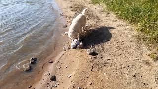 Собаки на реке.
