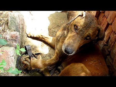 Dog's paw destroyed by hunter's trap but his courage prevails