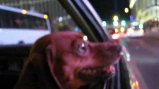 Dog Cruises Las Vegas Strip In 1971 Cadillac