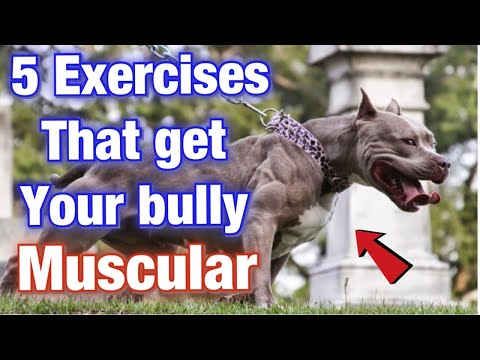 5 American Bully Exercise MUSCLE Training Tips That Will Get Your Dog SWOLE! (Part 2)