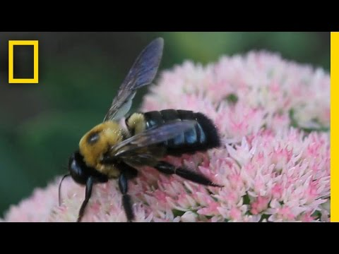 How to Train a Bumblebee: Scientists Study Insect Intelligence | National Geographic