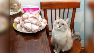 Кот без блинов