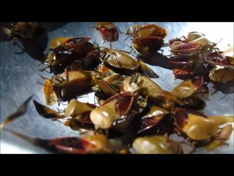 Laos wild Food , How to cook  Pungent insect