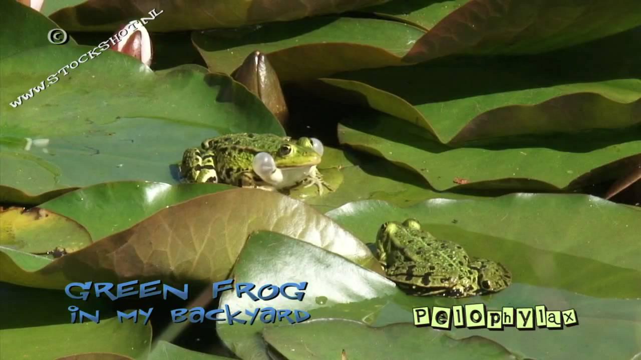 croaking frogs in my backyard youtube