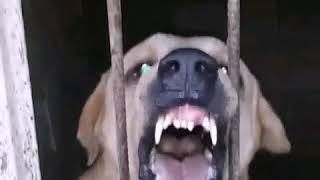 kurdish Shepherd Dog-Pshdar-Asyrian Shepherd Dog-Mesopotamia
