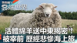 活體綿羊送中東揭密!被宰前 歷經悲慘海上旅 -李四端的雲端世界