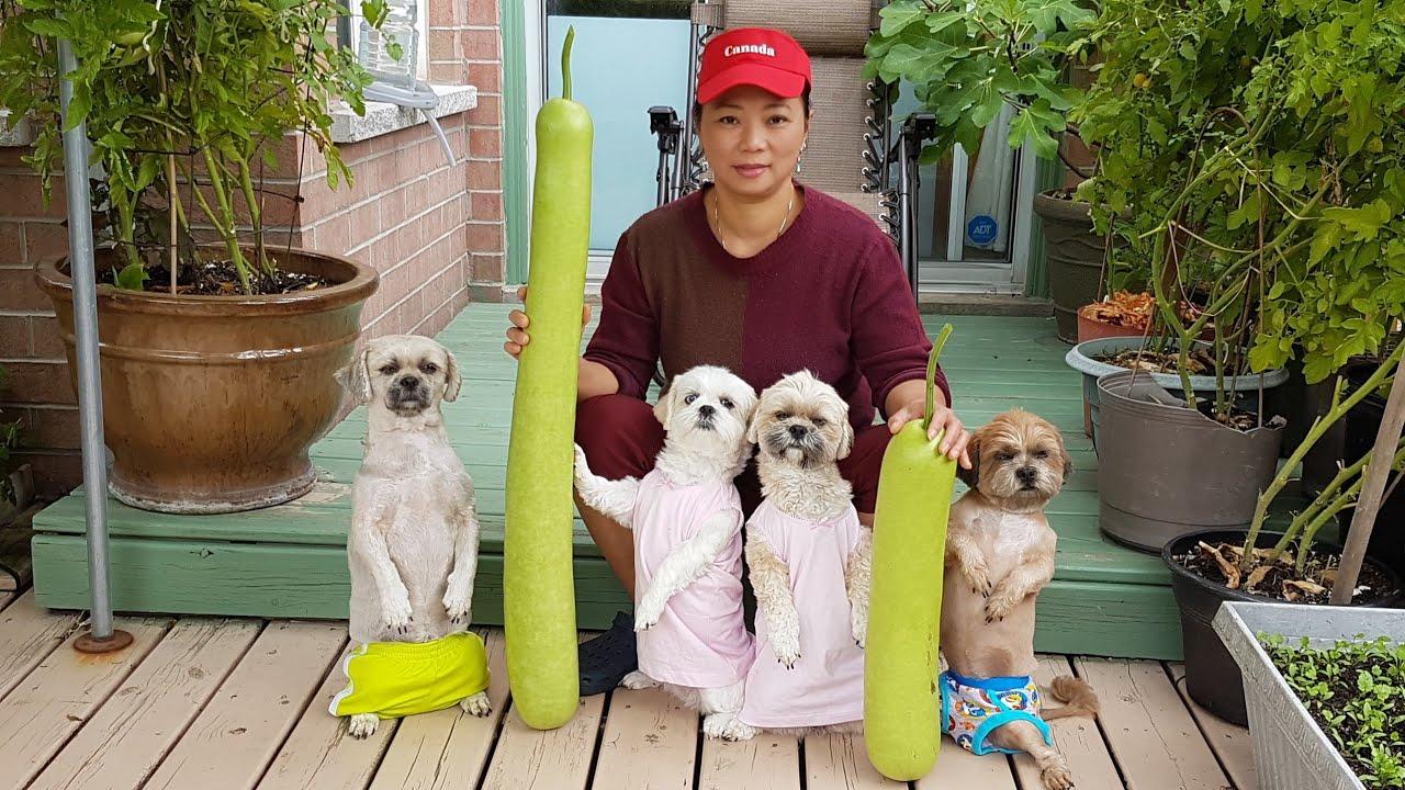 Bốn bé chó tuyệt vời dễ thương vui chơi xem Mami thu hoạch bầu cho láng giềng