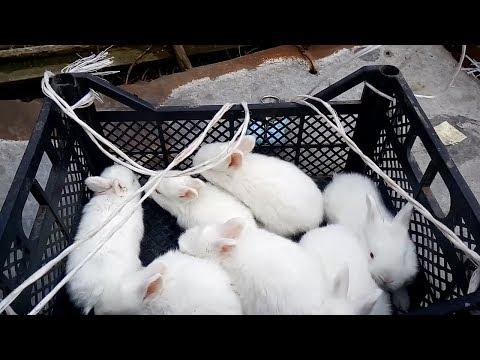 Вот один из методов, который помогает мне определить молочность у Новозеландских крольчих!!