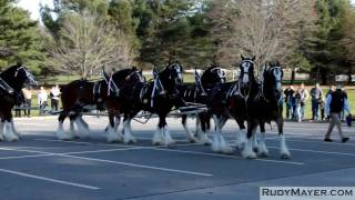 The Budweiser Clydesdale Horses of Merrimack, New Hampshire