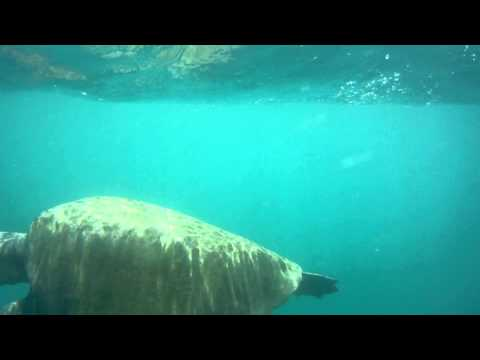 Olive Ridley Sea Turtle Under Water