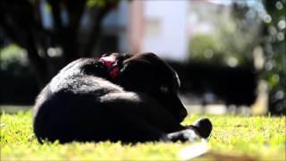 Labrador Retriever 1 Month And 15 Days - Nikon D7000 Test Video