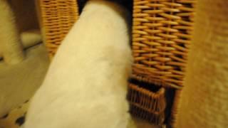 Британский котенок шоколад поинт кот 8 месяцев кушает мамку питомник British House