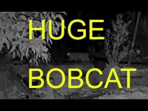 Huge Bobcat