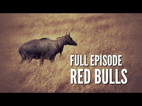 "South Texas Nilgai Hunting - ""Red Bulls"""