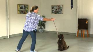 Mac Young Labradoodle Starting Obedience Training