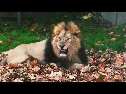 ライオンが落ち葉で遊んでいたらスゴイ結果にw
