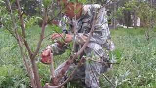 обрезка персика осенью видео