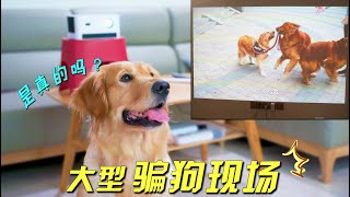 April Fools'Day is tricky!Will the golden retriever be fooled by using a projector to put a dog film