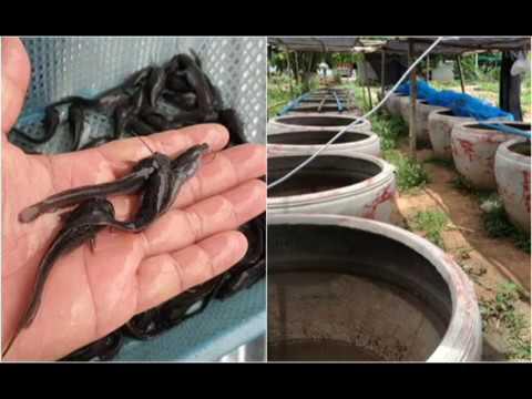การเลี้ยงปลาดุกให้โตเร็ว!!!