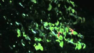 ALIENS TEXAS ORBS orbs hiding behind tree branches  6-30-12