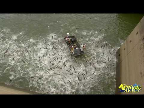 Electrofishing A Huge School Of Asian Carp Below Barkley Dam
