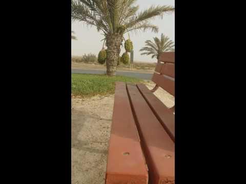 Bahrain date palm