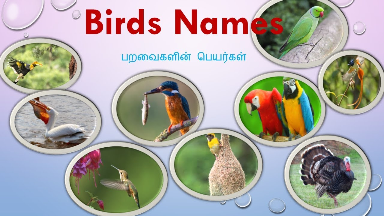 52 Types Of Birds Names In Tamil And English With Pictures Youtube
