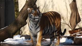 Sibirische Tiger - Siberian Tiger / København Zoo 1080p