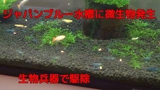 ジャパンブルー水槽に二週間ぐらい前より水中を泳ぐ1mm前後の微生物が...