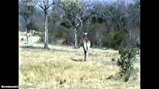 RPA / Afryka - żyrafy
