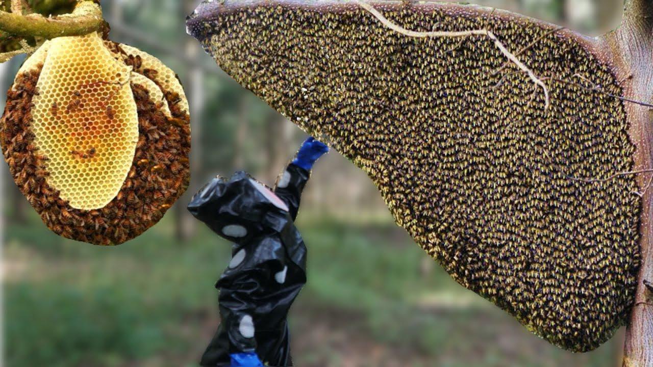 Bắt Tổ Ong Sắt Khổng Lồ Trên Ngọn Cây Cao Tít . Amazing Find Giant HoneyBee For Food