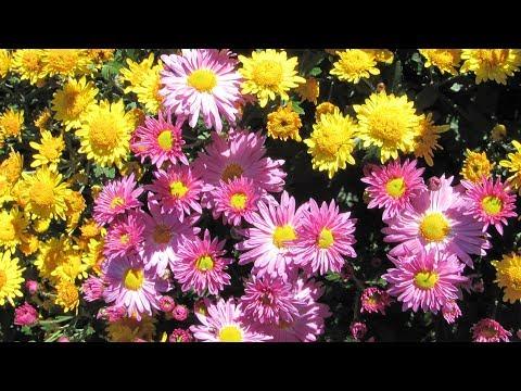 Садовые цветы в сентябре