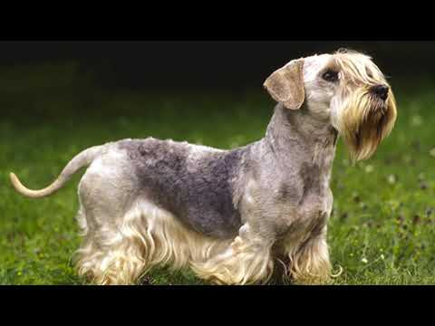 Cesky Terrier Photo Story