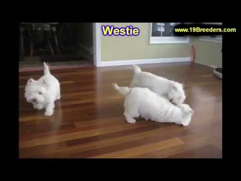 West Highland White Terrier, Westie, Puppies, Dogs, For Sale, In Birmingham, Alabama, AL, 19Breeders