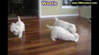 West Highland Terrier, Puppies, For, Sale, In, Aurora, Illinois, Il, Moline, Belleville, Lombard, De