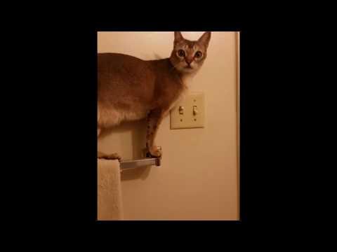 Singapura Cat turns off bathroom lights