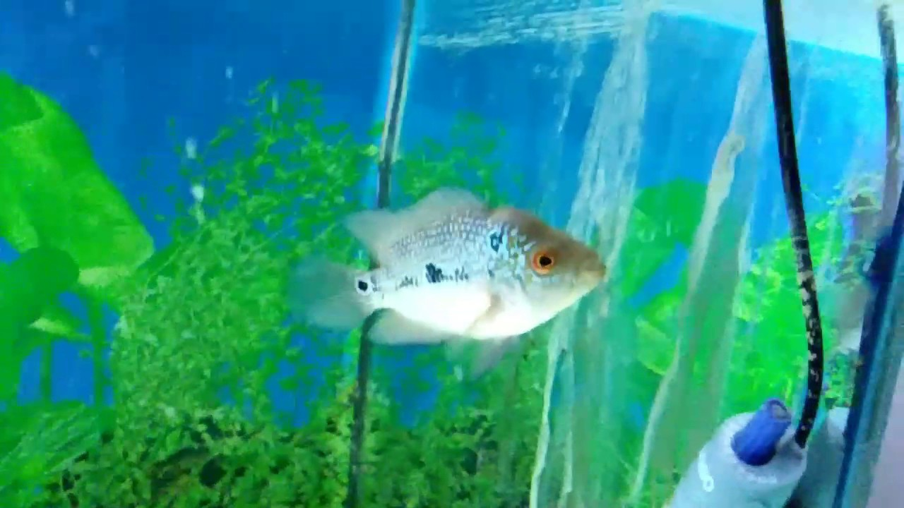 My srd baby flowerhorn food update by Armaan Hafeez