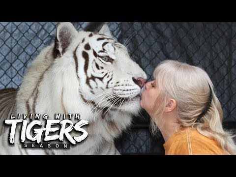 There's A Tiger In My Garden! | LIVING WITH TIGERS SEASON