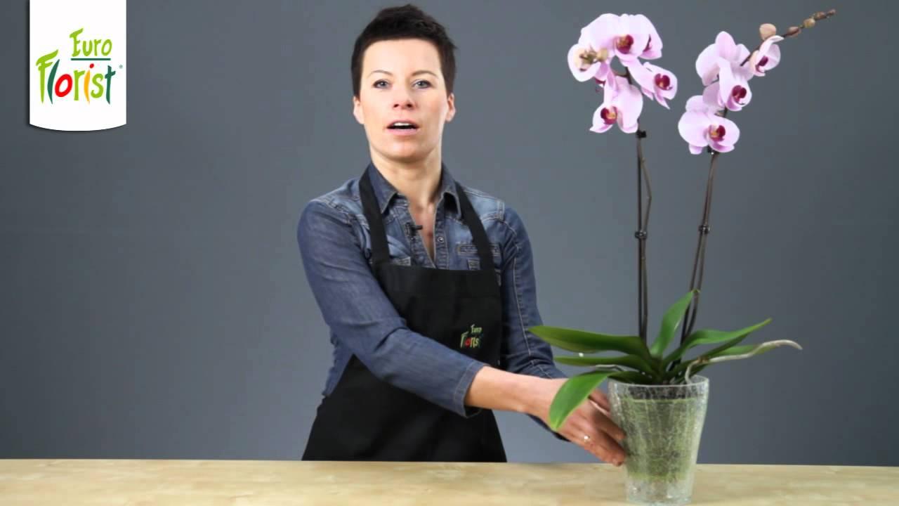 Jak Pielegnowac Storczyki Phalaenopsis W Domu Youtube