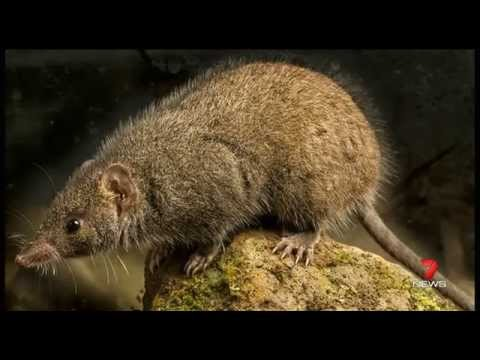 QUT's Black-tailed Antechinus discovery - Channel 7 News Brisbane