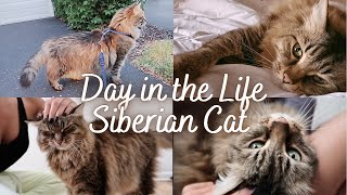 A DAY IN THE LIFE OF A SIBERIAN CAT   Siberian cat personality   Cute cat video
