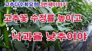 고추 다수확요령 3번째 이야기. 고추꽃 수정률 높이고 …