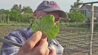 Защита винограда от болезней перед цветением(Как защитить виноград при его выращивании от вредителей и болезней (http://vinograd-is.ru/bolezni-vinograda/) в центральной..., 2014-05-27T18:47:28.000Z)