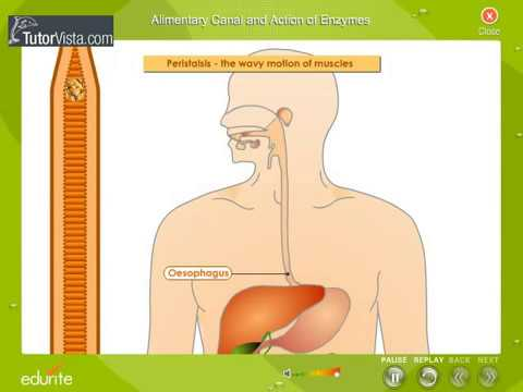 Alimentary canal and Action of enzymes