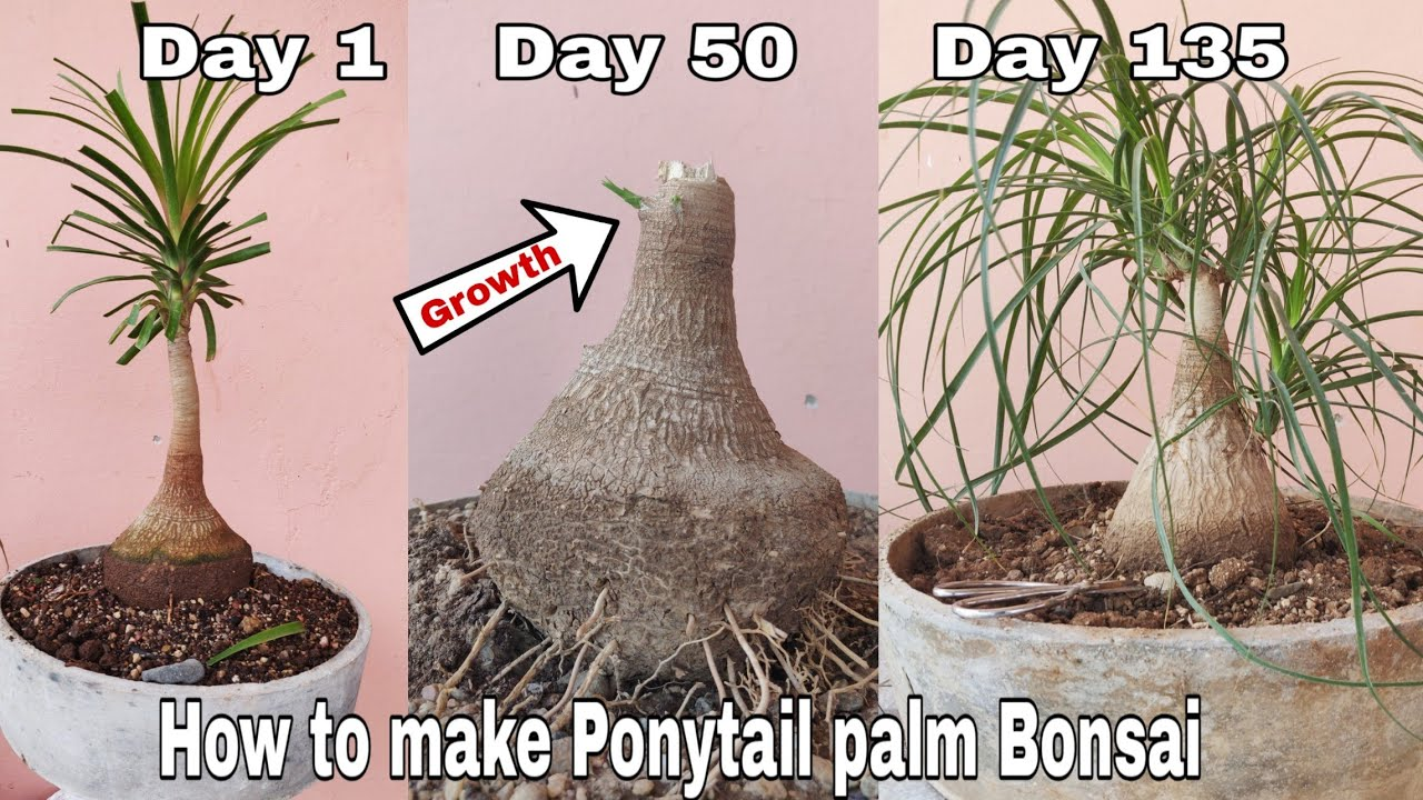 Ponytail Palm Bonsai How To Make Ponytail Palm Bonsai Tree At Home Youtube