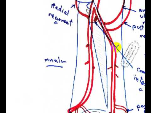 ulnar and radial arteries quick reviw