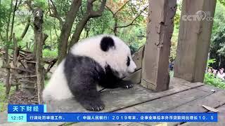 [天下财经]大熊猫宝宝半岁 开始学习独立生活  CCTV财经