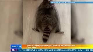 Пухлый енот из Кемерово стал звездой интернета